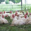 chickens-3_1_orig